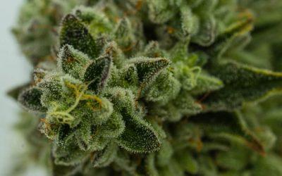 Why Cannabis?